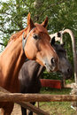 Two Horses Stock Image - 12453221