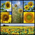 Mosaic Photos Of Sunflowers Royalty Free Stock Images - 12458579