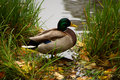 Duck Near Pond Royalty Free Stock Image - 12478936
