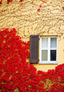 Ivy Red Royalty Free Stock Image - 12496296