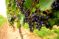 Red Grapes Royalty Free Stock Photos - 1253998