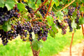 Red Grapes Stock Image - 1254001