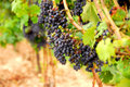 Red Grapes Royalty Free Stock Photography - 1254007