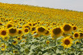 Field Of Sunflowers Stock Photos - 1255293