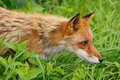 Red Fox Hunting Royalty Free Stock Photo - 12532345