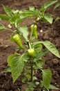 Pepper Plant Royalty Free Stock Images - 12538619