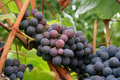 Ripening Grape Clusters Stock Image - 1260421