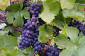 Blue-Purple Grape Clusters Royalty Free Stock Images - 1260459