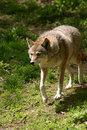 Coyote Stock Images - 1267904