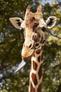 Giraffe With Tongue Sticking Out Royalty Free Stock Photo - 12602745