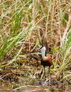 African Jacana Royalty Free Stock Images - 12608589
