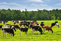 Cows In Pasture Royalty Free Stock Photos - 12612518