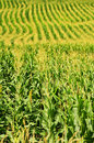 Corn Field Stock Images - 12612674