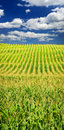 Corn Field Royalty Free Stock Images - 12612709