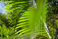 Green Palm Leafs Royalty Free Stock Photo - 12621335
