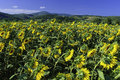 Tuscany Sunflower S Field Stock Photo - 12622820