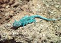 Blue Rock Agama Royalty Free Stock Images - 12634399