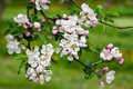 Spring Blossoms Apple Branch Stock Image - 12645771