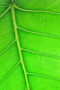 Close Up Image Of Green Leaf Royalty Free Stock Photos - 12649748