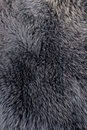 Polar Fox Fur Gray Or Blue Texture Stock Photography - 12668392