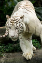 White Tiger Royalty Free Stock Photo - 12675725