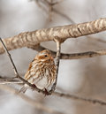 Female House Finch (Carpodacus Mexicanus) Royalty Free Stock Photography - 12682937