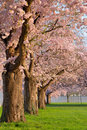 Row Of Blossoming Cherry Trees Stock Image - 12688291