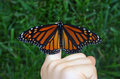 Monarch Butterfly Stock Photos - 1275003