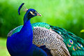 Peacock Stock Images - 12731364