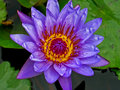 Water Lily Stock Photos - 12736793