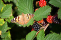 Red Admiral 02 Stock Images - 12759684