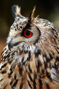 Rock Eagle Owl Stock Photography - 12782252