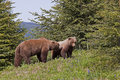 Brown Bear Boar And Sow Royalty Free Stock Photos - 12795288