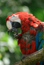 Red Ara Bird Royalty Free Stock Photography - 12807147
