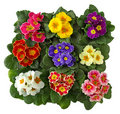 Primula Flowers Stock Images - 12825544