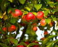 Apple Tree Royalty Free Stock Image - 12826936