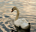 White Swan Royalty Free Stock Images - 12829939