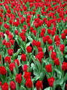 Tulips In Full Bloom Stock Images - 12838064