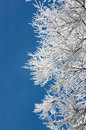 Tree Branches Covered With Hoarfrost Royalty Free Stock Image - 12866816