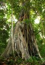 Giant Tree In The Rain Forest. Royalty Free Stock Image - 12872726