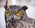 Great Horned Owl Stock Image - 12890771