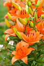 Blossoming Garden Yellow Orange Lilies Royalty Free Stock Images - 12903029