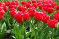 Red Tulips Field Royalty Free Stock Photos - 12909778