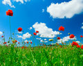 Red Poppy Field Royalty Free Stock Photography - 12926187