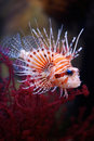 Lionfish Royalty Free Stock Photos - 12944868
