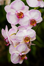 Pink Phalaenopsis Or Moth Orchid Stock Photos - 12951483