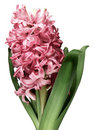 Pink Hyacinth Flower Against White Background Stock Photography - 12952452