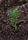 Dill Sprout Royalty Free Stock Images - 12960279