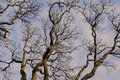Winter Tree Branches Royalty Free Stock Images - 12966249