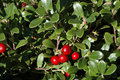 Cotoneaster Cochleatus Shrub With Red Berries Stock Photography - 12991592